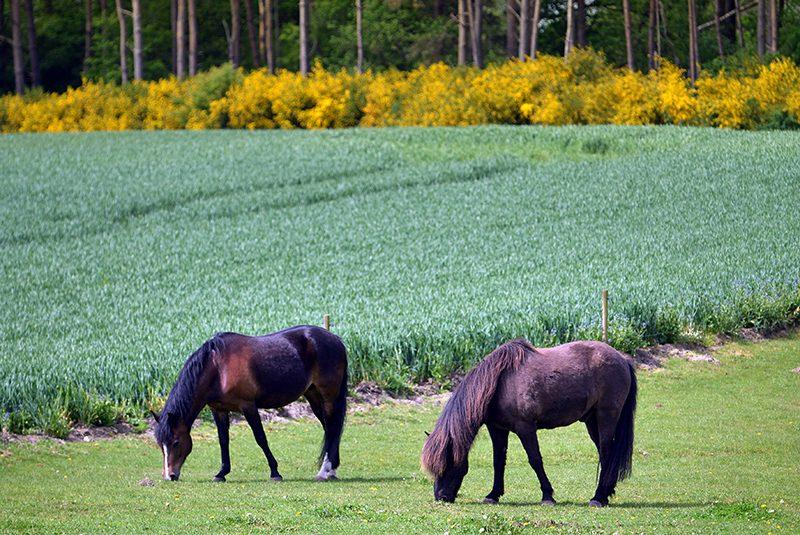 To heste på græs nær Stenvad