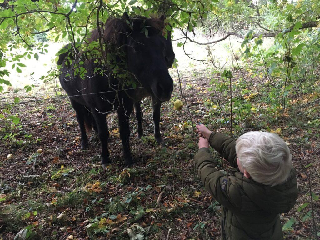 Hest fodres ed æble